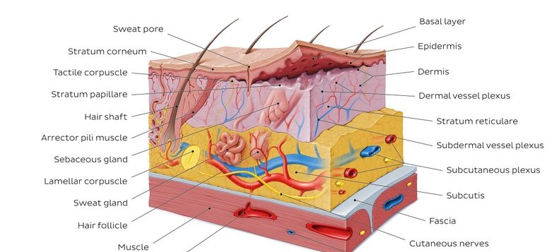 Effects on the Integumentary System