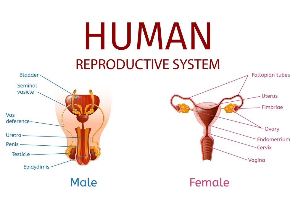 How Reproductive System is Affected?